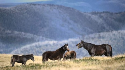 Brumbies near Falls Creek